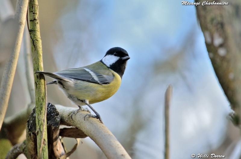 les èspèces d'oiseaux que j'ai eux cet hiver 2012-2013 Dpp_oi21