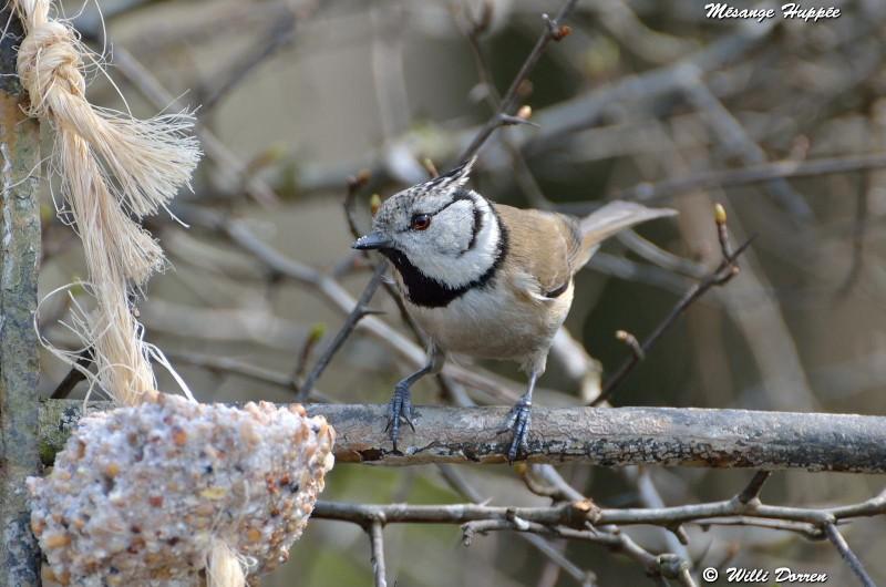 les èspèces d'oiseaux que j'ai eux cet hiver 2012-2013 Dpp_oi22