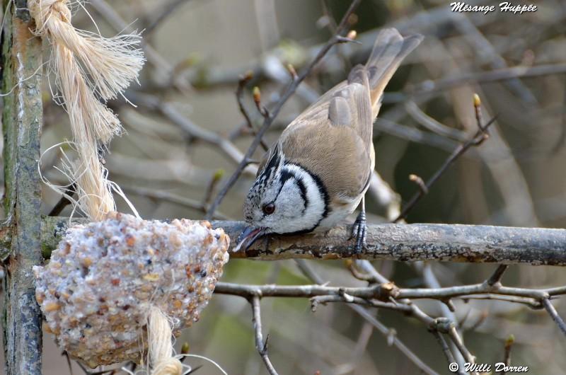 les èspèces d'oiseaux que j'ai eux cet hiver 2012-2013 Dpp_oi23