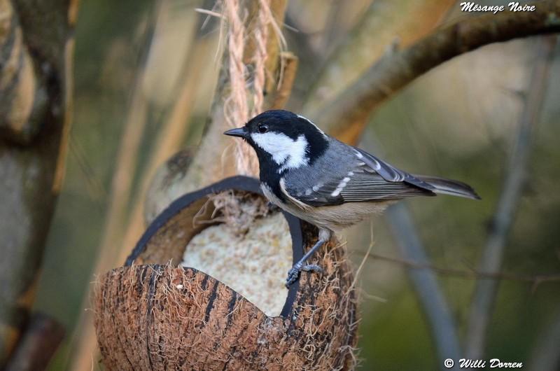 les èspèces d'oiseaux que j'ai eux cet hiver 2012-2013 Dpp_oi24