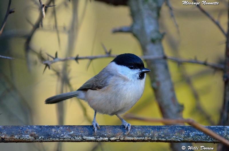 les èspèces d'oiseaux que j'ai eux cet hiver 2012-2013 Dpp_oi25