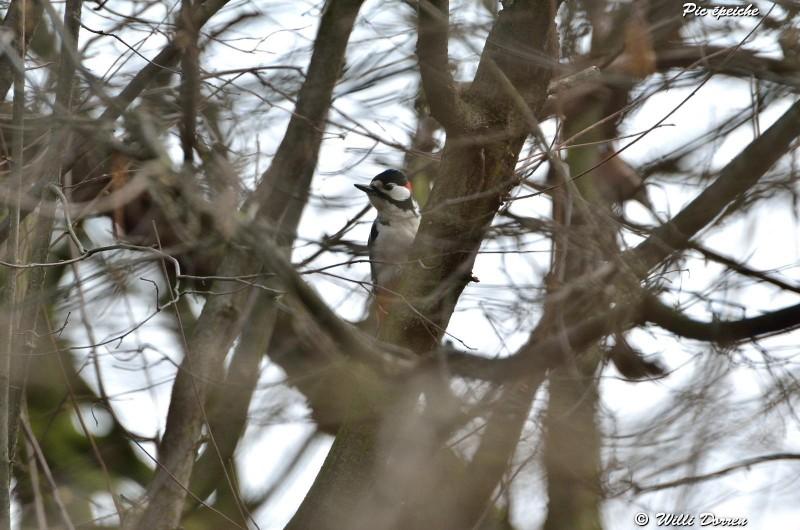 les èspèces d'oiseaux que j'ai eux cet hiver 2012-2013 Dpp_oi26
