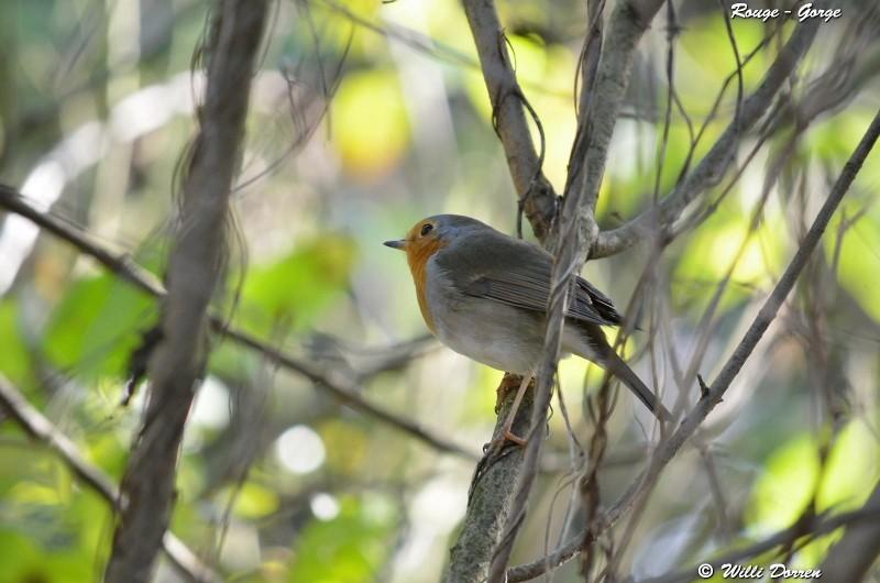 les èspèces d'oiseaux que j'ai eux cet hiver 2012-2013 Dpp_oi28