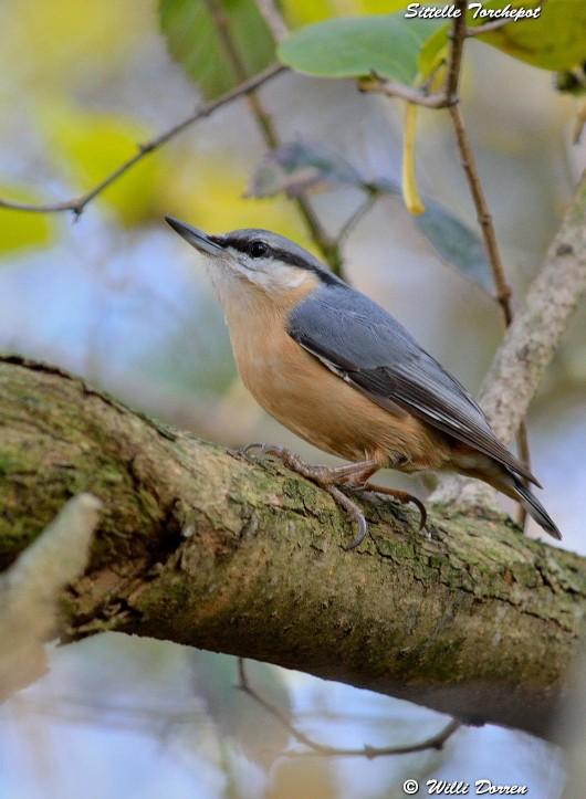 les èspèces d'oiseaux que j'ai eux cet hiver 2012-2013 Dpp_oi31