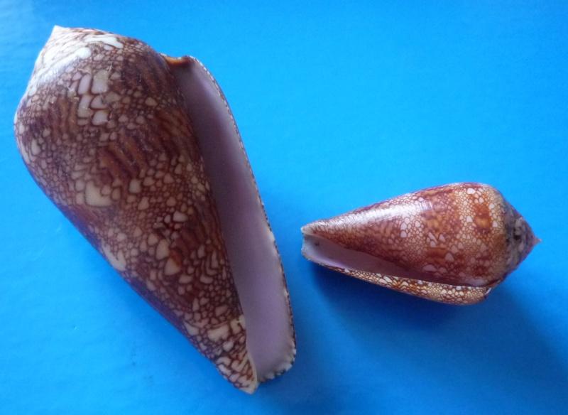 Conus (Cylinder) dalli   Stearns, 1873 Conus114