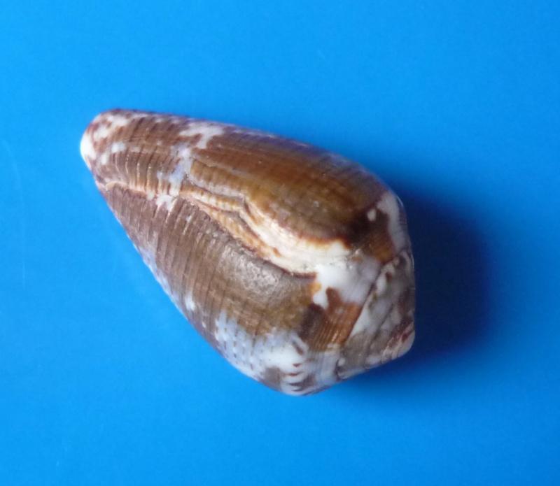 Conus (Pionoconus) catus   Hwass in Bruguière, 1792 - Page 2 Conus_14