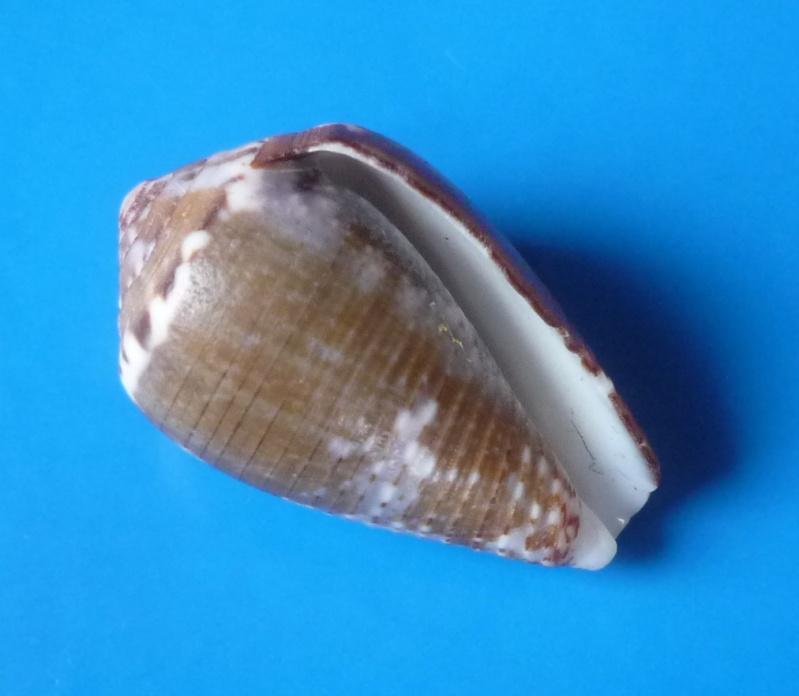 Conus (Pionoconus) catus   Hwass in Bruguière, 1792 - Page 2 Conus_15