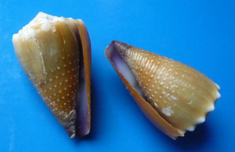 Sanguinolentus - Conus (Lividoconus) sanguinolentus  Quoy & Gaimard, 1834 - Page 2 Conus_42