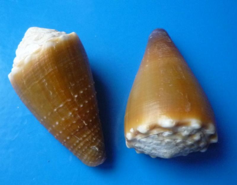 Sanguinolentus - Conus (Lividoconus) sanguinolentus  Quoy & Gaimard, 1834 - Page 2 Conus_43