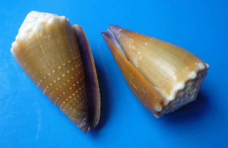 Sanguinolentus - Conus (Lividoconus) sanguinolentus  Quoy & Gaimard, 1834 - Page 2 Conus_44