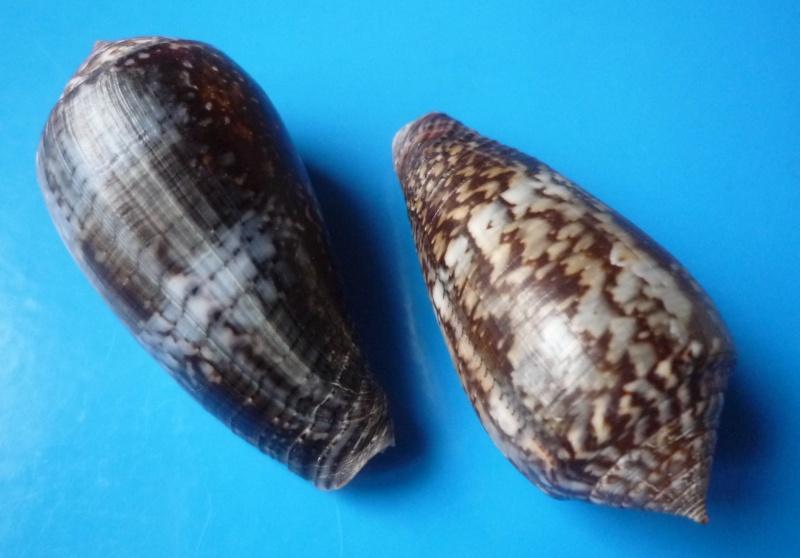 Conus (Pionoconus) monachus  (Linnaeus, 1758)  Conus_64