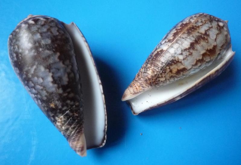 Conus (Pionoconus) monachus  (Linnaeus, 1758)  Conus_65