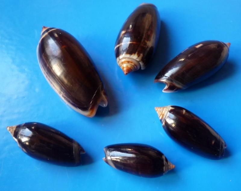Oliva tigridella f. oriola (Lamarck, 1811) Oliiva12