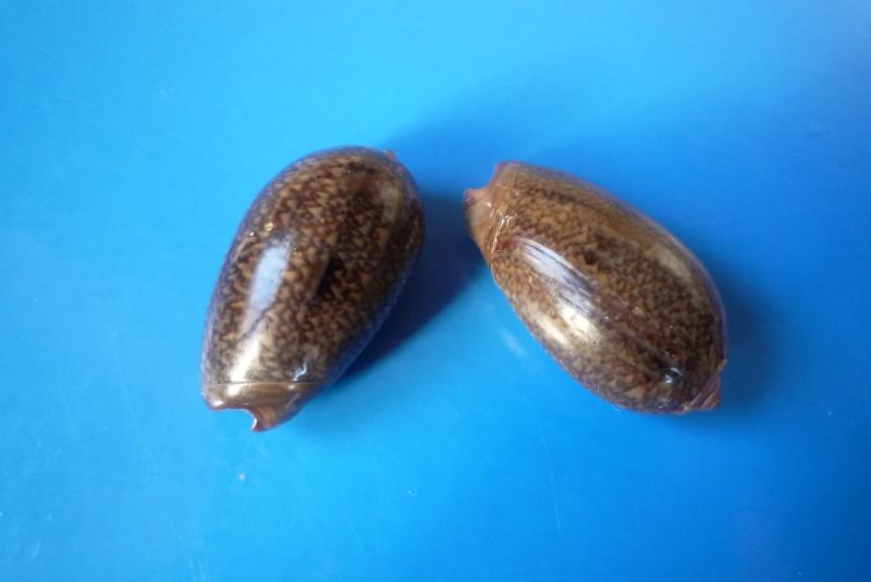 Carmione bulbiformis (Duclos, 1840) - Worms = Oliva bulbiformis Duclos, 1840 Oliva_34