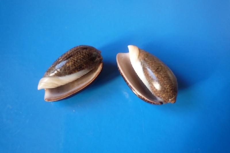 Carmione bulbiformis (Duclos, 1840) - Worms = Oliva bulbiformis Duclos, 1840 Oliva_35