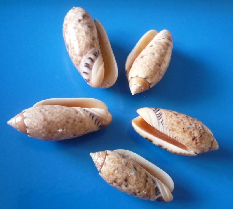 Annulatoliva amethystina (Röding, 1798) - Worms = Oliva amethystina amethystina (Röding, 1798) Oliva_54