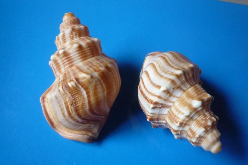 Struthiolariidae - Struthiolaria papulosa - (Martyn, 1784) Struth10