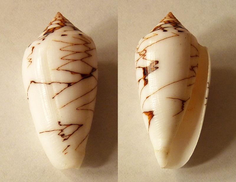Conus (Cylinder) archiepiscopus verriculum   Reeve, 1843 - Page 3 Conus_13