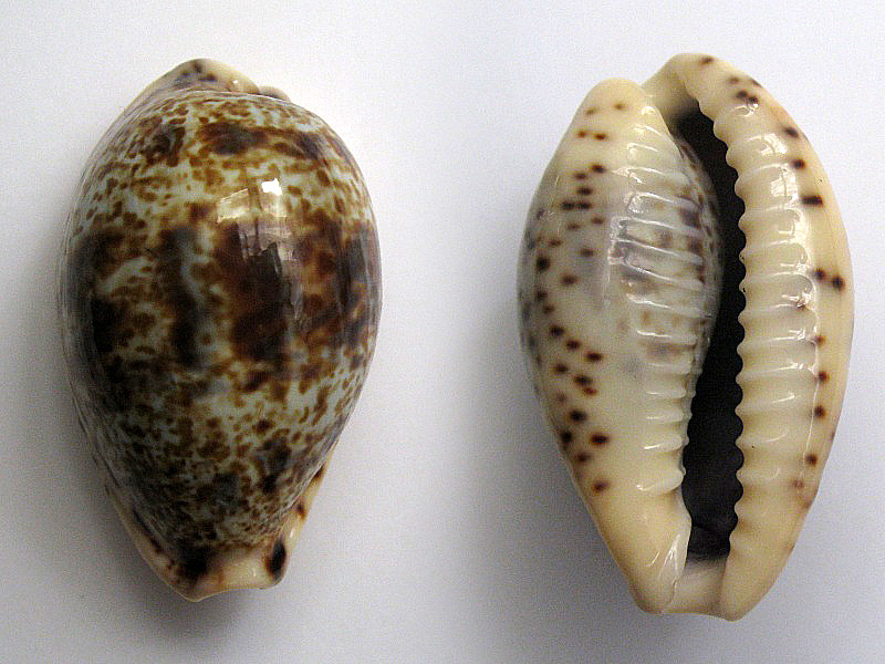 Palmadusta lentiginosa f. buhariensis - (Jonklaas, R.S.L. & K. Nicolay, 1977)  Img_6412