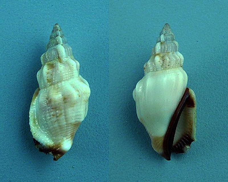 Canarium scalariforme - (Duclos, 1833) Oursin11
