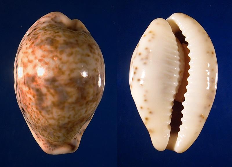 Palmadusta lentiginosa f. buhariensis - (Jonklaas, R.S.L. & K. Nicolay, 1977)  P4062410
