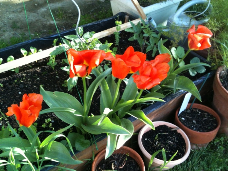 Jardin du jour. Tulipe10