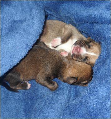 Adoption femelle pinscher 2 an et 1 mois  et ses chiots. Chiot_10