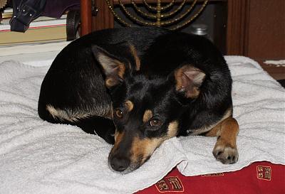 Adoption urgente tchoupi x pinscher femelle de 3 ans (75) Dsc02510