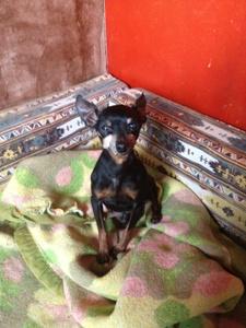 Léon adorable petit papy pinscher.(26) Leon-j10