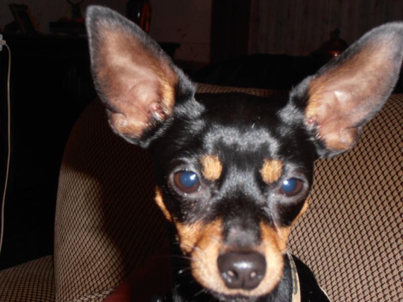 Adoption Hobbie mini pinscher  mâle de 11 mois (77) - Page 2 Pc020010