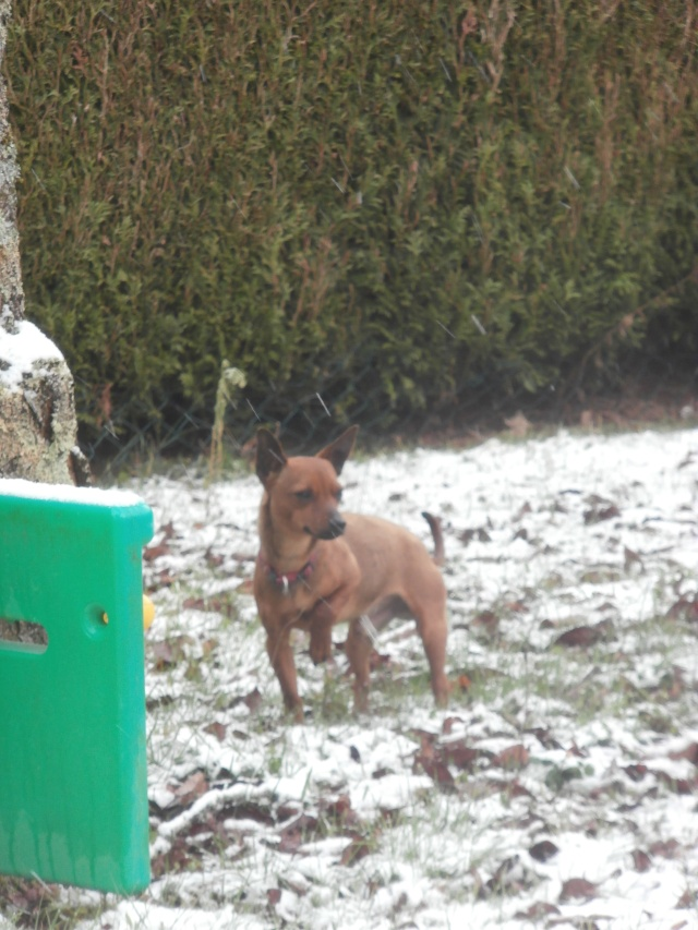Adoption Gamin pinscher fauve né le 01/01/2010(en fa dans le 87) Photo_10