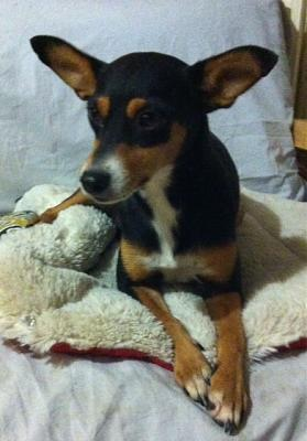 Adoption Savana x pinscher femelle d'un an (75) Savana10