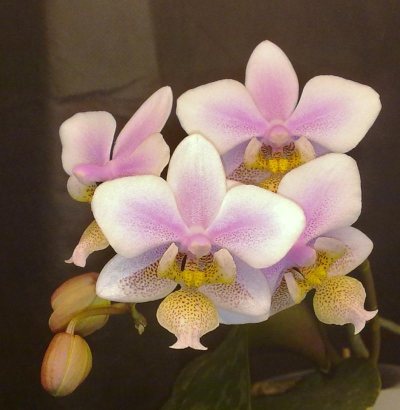 Phalaenopsis schilleriana x stuartiana (Philadelphia) 08012010
