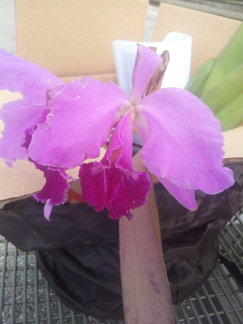 Cattleya labiata 'Mao de Deus' x 'rosada, C. kerrii, C. mendelii ...  20130440