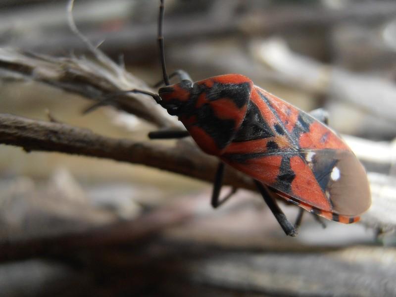 [Spilostethus pandurus] Spilostethus pandurus P2180111