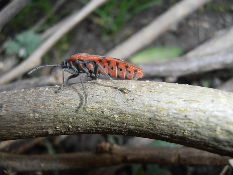 [Spilostethus pandurus] Spilostethus pandurus P2180113