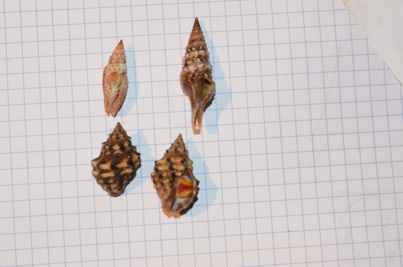 1 Ziba insculpta (Mitridae), 2 Lophiotoma indica (Turridae), 3 & 4 Thais tricolorata Bozzetti, 2010 - Madagascar, Sud Ouest 00812