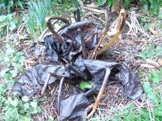 Farfugium japonicum = Ligularia kaempferi Dscf2616
