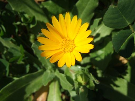 Calendula arvensis - souci des champs Dscf2730