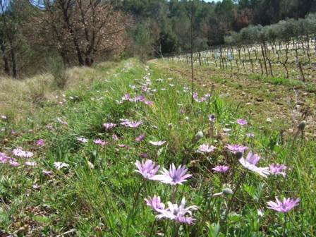 Anemone hortensis - anémone des jardins Dscf3116