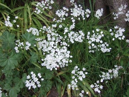 allium neapolitanum - Allium neapolitanum - ail de Naples Dscf3129