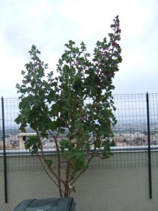 Malva arborea (= Malva dendromorpha) - mauve en arbre Dscf3210