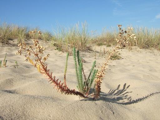 Euphorbia paralias - euphorbe des dunes, euphorbe maritime Dscf3219