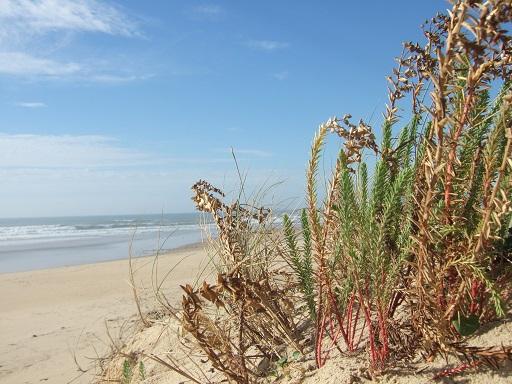 Euphorbia paralias - euphorbe des dunes, euphorbe maritime Dscf3220