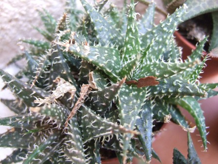 Aloe descoingsii x hawortioides Dscf3315