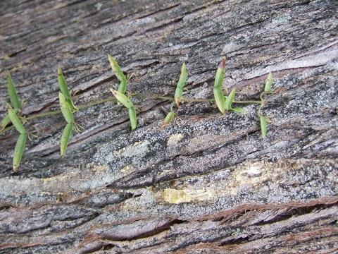 Xanthoceras sorbifolium, Bignonia capreolata, Elides asparagoides, Macfadenya unguis-cati [devinette] Dscf3321