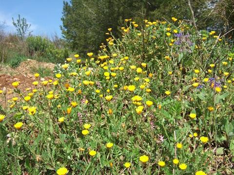 Calendula arvensis - souci des champs Dscf3322