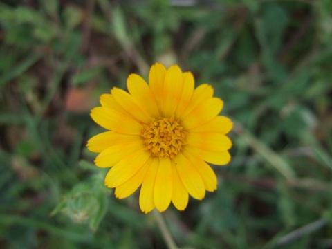 Calendula arvensis - souci des champs Dscf3323