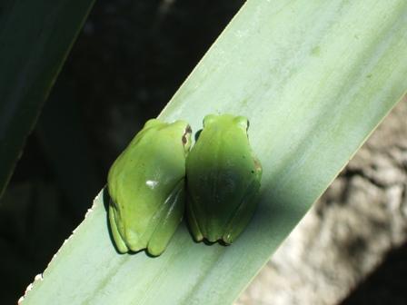 rainettes et autres grenouilles Dscf3412