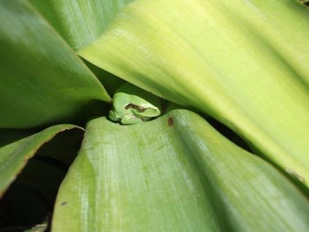 rainettes et autres grenouilles Dscf3413